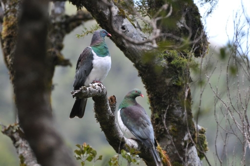 Pair of kereru in the Rimutaka Forest Park